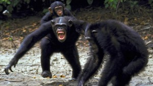 wpid-3-fighting-chimpanzees.c378a44305cd472b8fd9dd7a11e4489c-2014-12-11-21-00.jpg